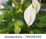 white wild calla  calla... | Shutterstock . vector #744100195