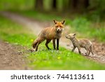 red fox is largest of the true... | Shutterstock . vector #744113611