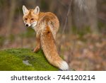 Red Fox Is Largest Of The True...