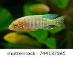 Small photo of The Albino Peacock cichlid,Aulonocara sp. is endemic to Lake Malawi and the areas of around Nkhomo reef and Kande Island. it is an African cichlids in Cichlidae family.
