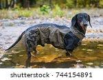portrait dog dachshund breed ... | Shutterstock . vector #744154891
