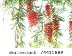 Red Bottle Brush Tree Flower...