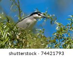 Black Crowned Night Heron On A...