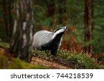 badger in forest  animal nature ... | Shutterstock . vector #744218539