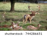 Fallow Deer Stag With His Does...