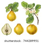a branch of quince  cytonia ... | Shutterstock . vector #744289951