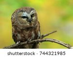 Stock photo owl on a branch saw whet owl owl in the woods 744321985