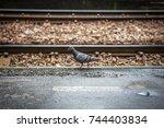 Dove Walking Along The Railroad ...