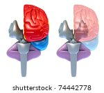 Brain lobes and cerebellum, front view isolated on white - stock photo