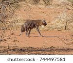 a brown hyena walking in... | Shutterstock . vector #744497581