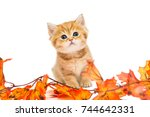 Stock photo little british kitten and autumn leaves isolated on a white background 744642331