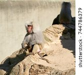 a baboon is sitting on a... | Shutterstock . vector #744786379