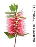 Crimson Bottlebrush Flower...