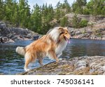 Scottish Rough Collie Dog Is...