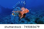 Lion Fish In The Red Sea
