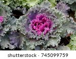 cabbage colored leaves  | Shutterstock . vector #745099759