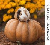 funny guinea pig sitting on... | Shutterstock . vector #745111474