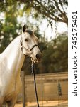 Small photo of Grey horse portrait with halter and lead rope on
