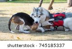 Stock photo two dogs playing on grass field siberian husky and beagle bite each other 745185337