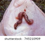 Small photo of Marine fish leech or a piscicolid leech, Malmiana virgata on a Yellowfin sole from the Eastern Bering Sea.