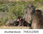 chacma baboons or cape baboons  ... | Shutterstock . vector #745212505