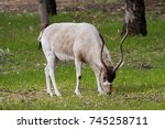 Small photo of An Addax grazing