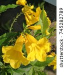 Small photo of The Allamanda cathartica, yellow petals with green leaf