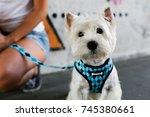 Stock photo cute westie dog looking at camera outdoor 745380661