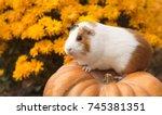 funny guinea pig sitting on... | Shutterstock . vector #745381351