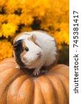 funny guinea pig sitting on... | Shutterstock . vector #745381417
