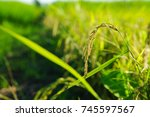 rice grains are under the... | Shutterstock . vector #745597567