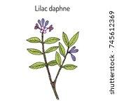 lilac daphne  daphne genkwa  ...