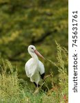 beautiful stork in the middle... | Shutterstock . vector #745631761