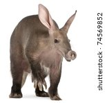 Small photo of Aardvark, Orycteropus, 16 years old, in front of white background