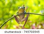 white lipped tree frog or... | Shutterstock . vector #745703545