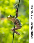 white lipped tree frog or... | Shutterstock . vector #745703551