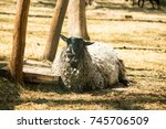 Small photo of the old sheep bleat