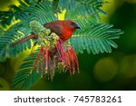 red throated ant tanager  habia ...   Shutterstock . vector #745783261