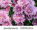 beautiful pink chrysanthemum as