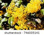 shrubs of yellow mahonia flowers | Shutterstock . vector #746035141