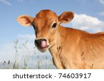 funny young cow sticking tongue ... | Shutterstock . vector #74603917