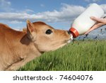 Person Feeding Baby Calf Bottl...