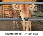 Two Identical Calves Standing...