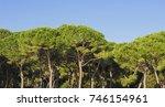 Maritime Pine  Pinus Pinaster ...