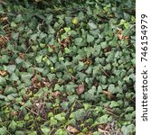 Small photo of ivy (Hedera) plant useful as a background