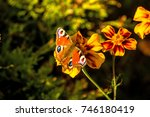 peacock butterfly on a tagetes
