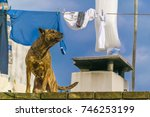 brown dog barking at roof house | Shutterstock . vector #746253199