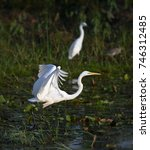 Small photo of Great egret (Ardea alba), common egret, large egret or great white heron, a wader or water bird species in Ardeidae family, taking off to catch fish in fish pond, Thailand. Beautiful nature scene.