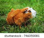 Small photo of Red Abyssinian Guinea Pig on green grass.