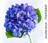Soft Blue Hydrangea On White...